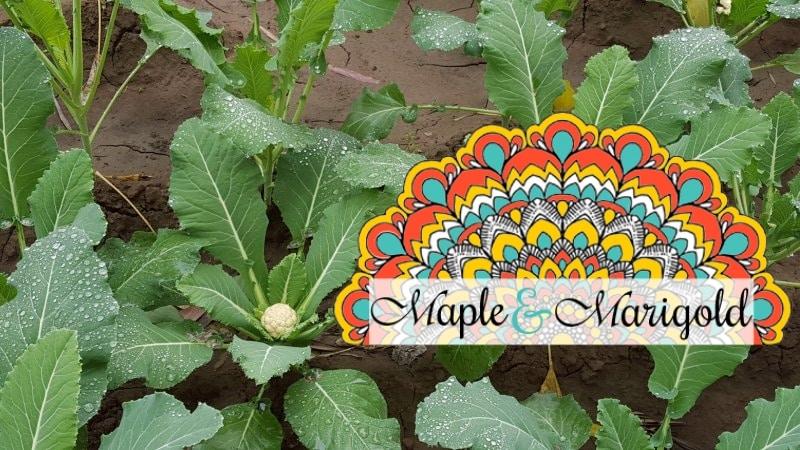 Canada 150 Food Blog challenge | Using broccoli stems | Vegetarian | Unusual vegetarian dishes | Maple and Marigold