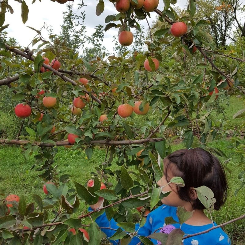 Pick Your Own Apples - A Wonderful Family Tradition
